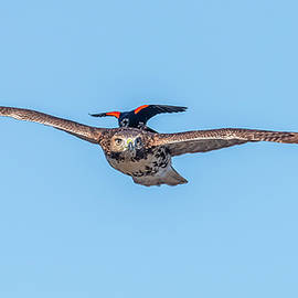 Red-Winged Blackbird Hitching A Ride by Morris Finkelstein