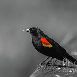Red-winged Blackbird by Jo Ann Gregg