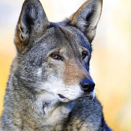 Steve McKinzie - Red Wolf Glare
