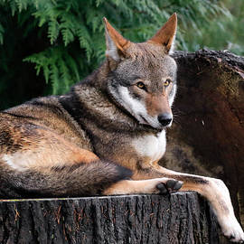 Athena Mckinzie - Red Wolf Relaxation
