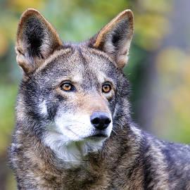 Steve McKinzie - Red Wolf up Close