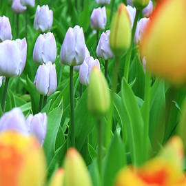 Lali Kacharava - Red - yellow tulips