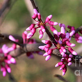 RedBud-5127 by Gary Gingrich Galleries