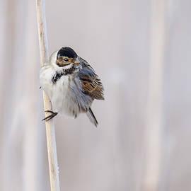 Reed bunting by Veselin Gramatikov