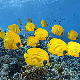 Reef Butterflies