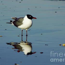 Reflection - Sea - Gull by D Hackett