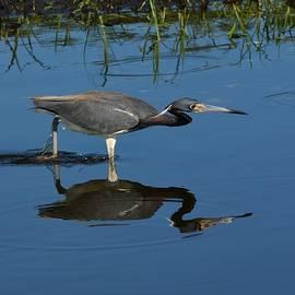 Patricia Twardzik - Reflections of a Tri-Colored Heron