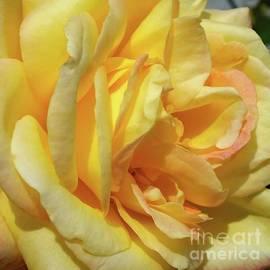 Cindy Treger - Regal Beauty - Rose
