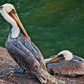 Relaxing After A Day at Sea, California Brown Pelicans