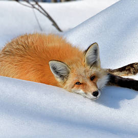 Michael Morse - Relaxing Red Fox