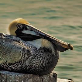 Resting Brown Pelican by Mark Fuge