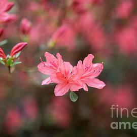 Tim Gainey - Rhododendron Kaempferi