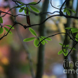 Rhododendron Leaves Against Fall Colors - Mike Reid