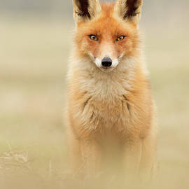 Right into your Soul - Red Fox by Roeselien Raimond