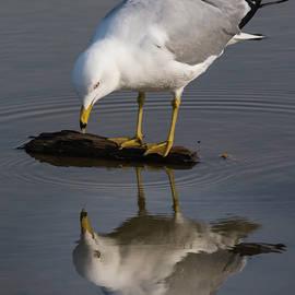 Bruce Frye - Ring-billed Gull Reflected