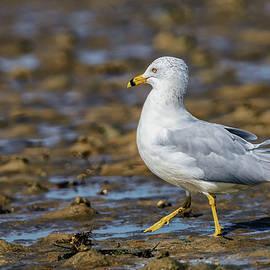 Ring-billed Gull by Rick Higgins