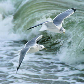 Ring-Billed Gulls II by Mark Roger Bailey