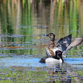 Alan C Wade - Ring-necked Duck - 1