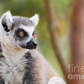 Ring-tailed Lemur Closeup by Nick Biemans