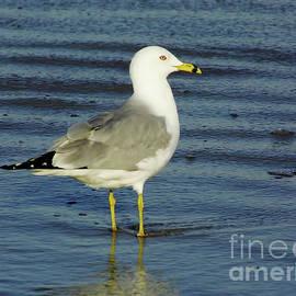 D Hackett - Ringed Billed Sea Gull