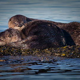 River Otters by Randy Hall