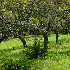 River Ranch Oak Grove by Bill Morgenstern