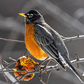 Marty Saccone - Robin Catching Rays