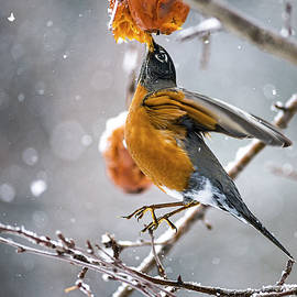 Robin Hanging In There by Marty Saccone