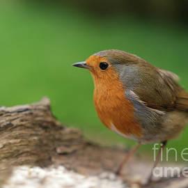 Rawshutterbug - Robin Redbreast