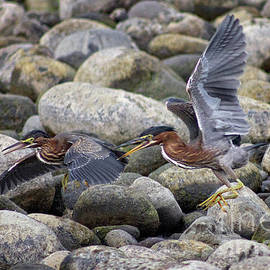 Rock Hoppers by Bob Hislop