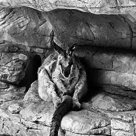 Miroslava Jurcik - Rock Wallaby In Black And White
