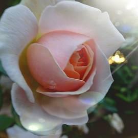 Susan Baker - Romantic pastel pink rose
