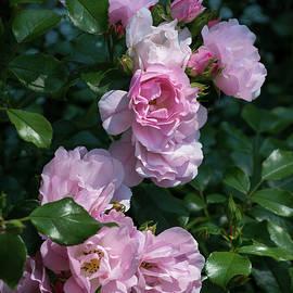 Fiona Craig - Romantic Pink Roses