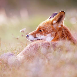 Roeselien Raimond - Romantic Red Fox