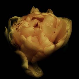 Richard Cummings - Romantic Tulip