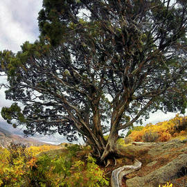 Roots Of The Black Canyon - Colorado - Bonsai Tree by Jason Politte