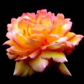 Eileen Brymer - Rosa Centennial Star