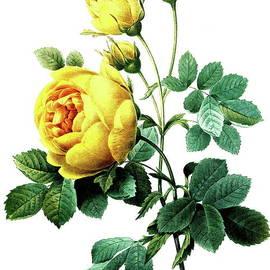 Rosa hemisphaerica, also known as the sulphur rose - Pierre Joseph Redoute