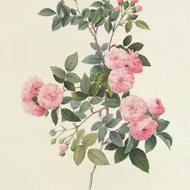 Rosa Multiflora Carnea