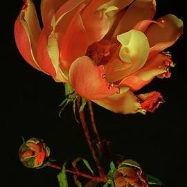Rose # 3. by Alexander Vinogradov