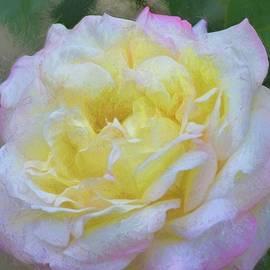 Rose 386 by Pamela Cooper