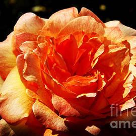 John Langdon - Rose 7