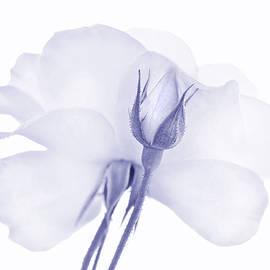 Rose Bud Flower Lavender by Jennie Marie Schell
