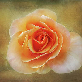 Terry Davis - Rose Emerging