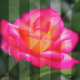R V James - Rose flower from a new angle