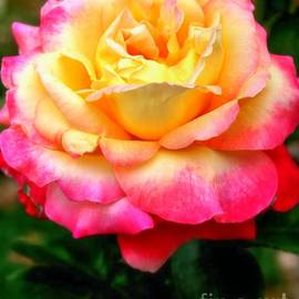 Rose Gallery by Charlene Cox