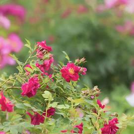 Rose Garden Promise by Kim Hojnacki