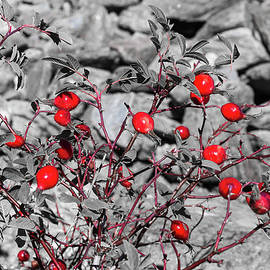 Rose hips - 1 by Paul MAURICE