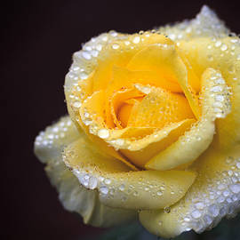 Terry Davis - Rose in Rain 1
