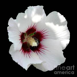 Rose of Sharon Flower and Bumble Bee by Rose Santuci-Sofranko